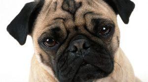 Satılık Köpek Pug