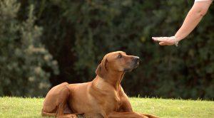Köpek eğitimi evde