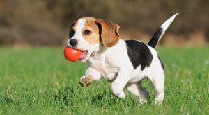 Satılık Köpek İlanları Sahibinden